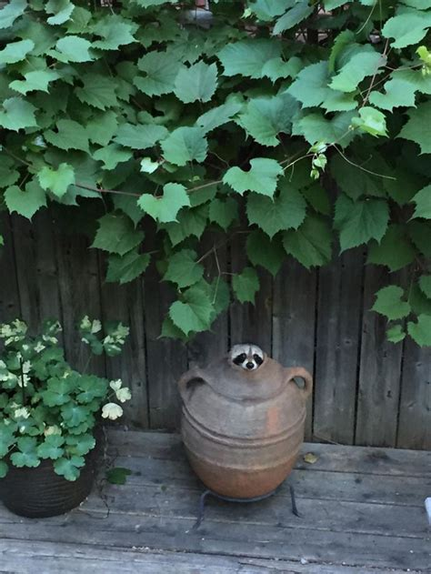 12 Trash Panda Pics That Prove They're The Cutest Animal